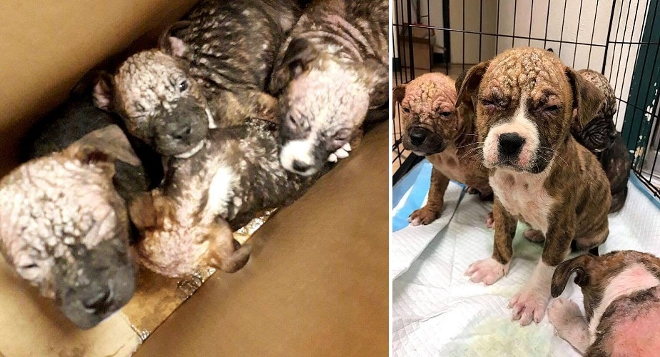 Eight Severely Neglected Puppies Abandoned in a Box Have Been Saved!