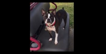 Adorable Boston Terrier With a Sweet Face Begs Human to Let Him Drive the Golf Cart!