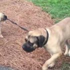 Big Old Softy of an English Mastiff Lets Puppy Take Him for a Pull!