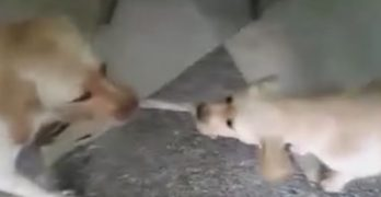 Adorable Golden Puppy Has a Tug-of-War Match With His Mom