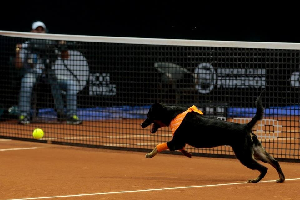Rescue Dogs to Be Taking Over Ball Boy Duties at Tennis Tournament