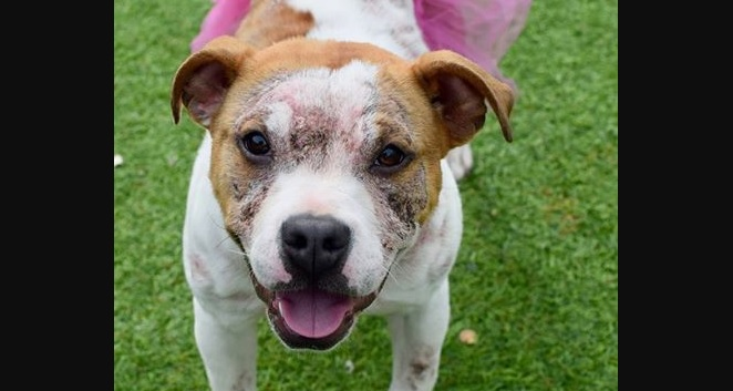 Piper Is the Wiggley-Piggley Pitty of Your Dreams, and She can Be All Yours TODAY!