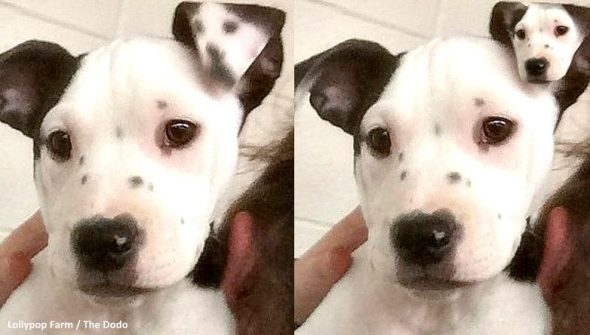Puppy Is Born With a Mini-Me on Her Ear - LIFE WITH DOGS