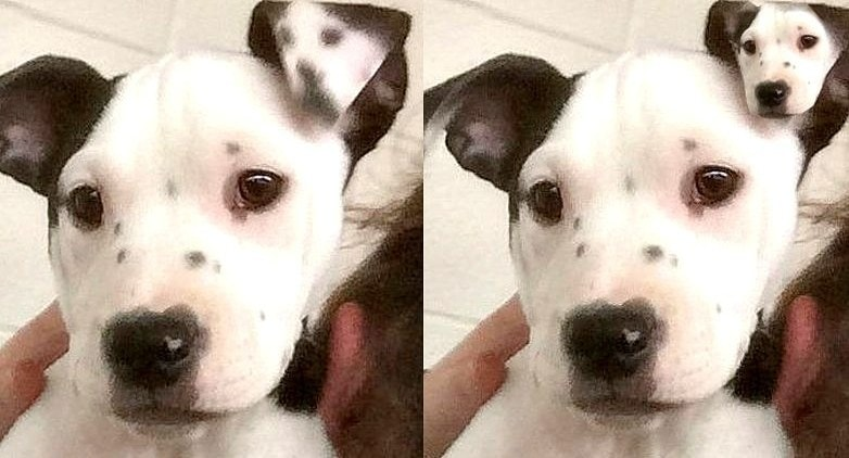 Puppy Is Born With a Mini-Me on Her Ear