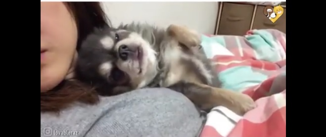 We All Need a Sleeping Buddy Like This Chihuahua
