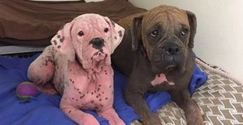 Dog With Pink Skin Rescued With Brother Responding Well to Treatment and Care from Rescuers