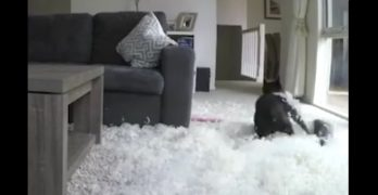 Frenchie Has a Blast Ripping it Up When the Humans Aren't Home
