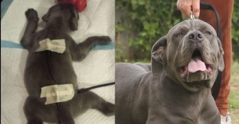 """Defective"" Mastiff Puppy Who Was to Be Culled Is Saved in the Nick of Time"