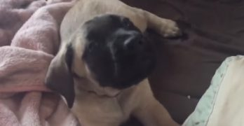 "English Mastiff Gets ""Scolded"" for Talking Back to Her Human Mom"