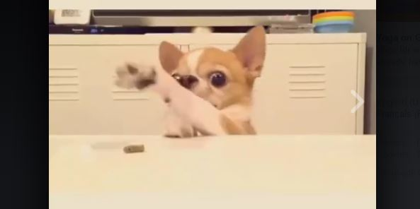 Somebody Get This Chihuahua Some Thumbs…!