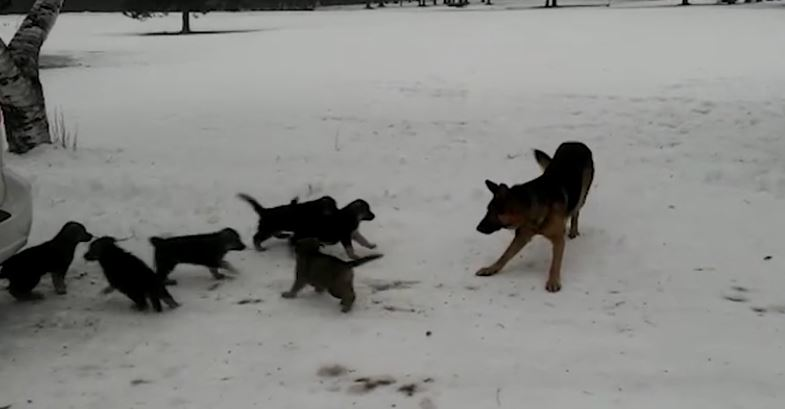 Dad's Day Out! Watch This Proud Papa Play With His Pups