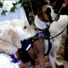 "Service Dogs Say ""I Woof You"" in Adorable Dog Wedding Ceremony"