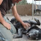 Even For Experienced or Careful Owners, Wolf Dogs Are NOT Always Good Pets
