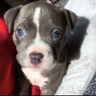 Blue-Eyed Baby Pibble Floof is the Cutest Thing You'll See Today