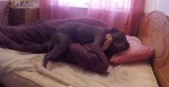 Pit Bull Alarm Clock: A Dog Lover's Wake-Up Call