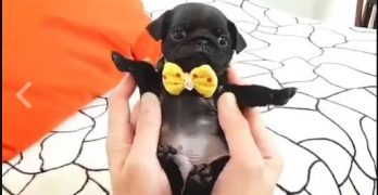 "Smallest, Cutest, Itty-Bittiest ""Pug-let"" Will Steal Your Heart!"