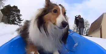 Put Roxie the Sledding Sheltie in the Winter Olympics!
