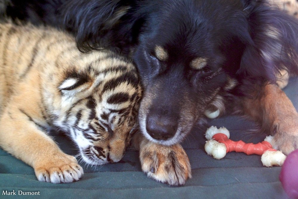Male Dog Adopts Rare Tiger Cubs Abandoned by Their Mom