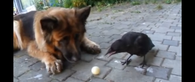 Dog and Clever Crow Play with a Ball Together