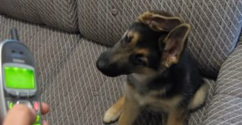 Adorable German Shepherd Puppy with Amazing Ears Has His Mind BLOWN by Ringtones