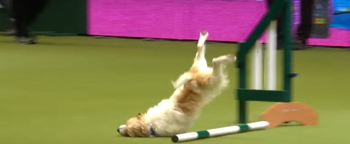 Olly Has an Epic Fail During Obstacle Course at Crufts