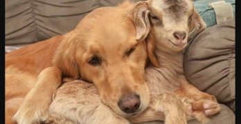 Dog Goes Tail Over Paws for the Baby Goats She's Adopted