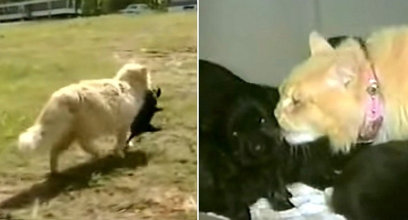 Bereft Cat Dognaps a Disinterested Mother Dog's Puppies