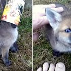 "Fox Kit Says ""Thank You"" to Its Hero in the Sweetest Way"