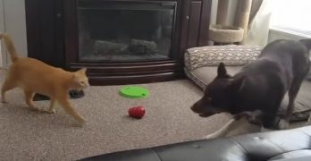 Hyper Dog Tries Everything to Engage Unflappable Cat