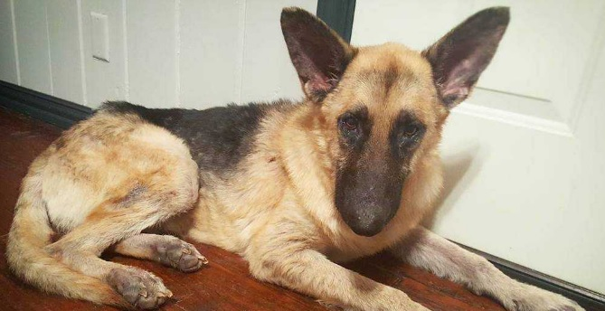 Baldur Is the Handsome Young German Shepherd of Your Dreams!