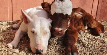 Miniature Cow Called Moonpie Rescued from Auction Falls in Love With Every Dog She Meets