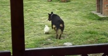 """""""Big, Scary"""" Rottweiler Has Fun in the Yard With Bunny Buddy"""