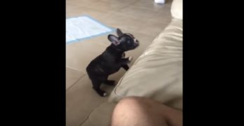 Frenchie Has an Adorable Epic Fail!