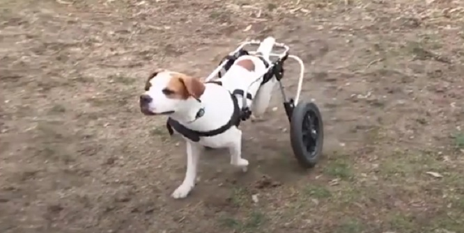Dog Who Had No Use of Her Back Legs Learns to Stand on Her Own Again Thanks to Her Rescuers