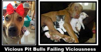 Vicious Pit Bulls Failing Viciousness
