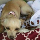 Chihuahua Puppy Dumped at Kill Shelter With Her Bed Cries Herself to Sleep Every Night
