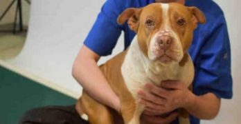 Melle Is the Rolly-Polly Pibble Ready to Waddle Straight into Your Heart