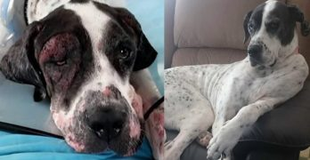 The Transformation That This Great Dane Goes Through Is one of the MOST AMAZING We've Ever Seen!