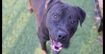 Niko Is the Lovable Lab Who Needs Out of the Scary Shelter and into a Good Family Home