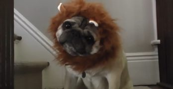 "A Very Funny ""Documentary"" Featuring the Great, North American Lion-Pug"
