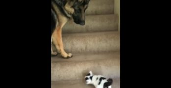 German Shepherd Helps Adorable Kitty Upstairs