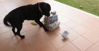 Ecstatic Lab Destroys Defenseless Tower of Egg Cartons