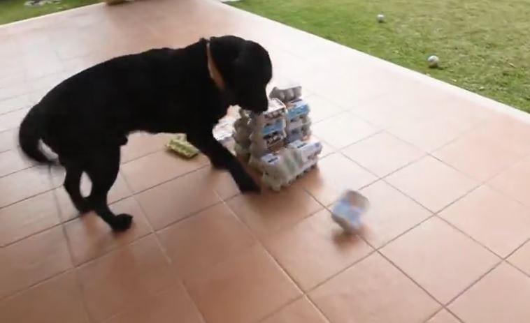 Ecstatic Lab Destroys Defenseless Tower of Egg Cartons