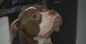 Saving Gabe: Dog Found Near Death in Toledo Making Beautiful Recovery