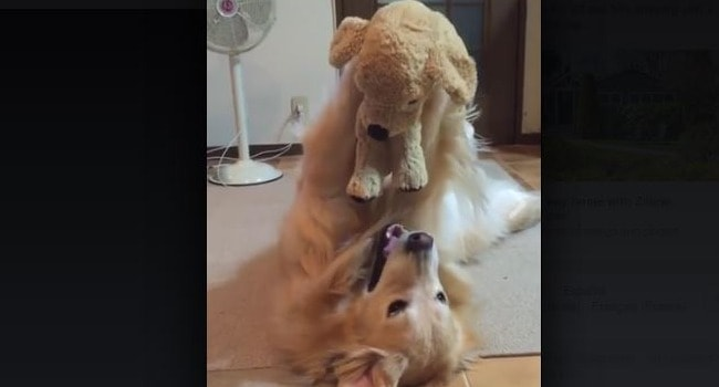 "CUTENESS! Golden Plays With His Stuffed ""Baby"" Like A People!"