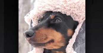 "This Little Dachshund Really ""Digs"" The Snow!"