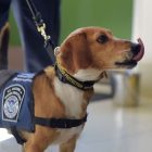Formerly Abused Rescue Dog Joins Beagle Brigade at Hartsfield-Jackson Airport