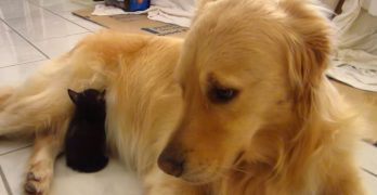 Dog Is a Little Confused by Tiny Foster Kitty Falling Asleep in His Tummy Fur