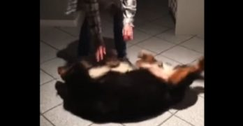 Giant Bernese Mountain Dog Becomes Giant Baby When Grandma Comes to Visit
