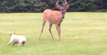 Frenchie Tries Adorably to Make Friends With a Big Male Deer